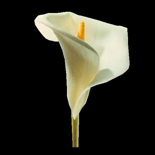 Flowers-Kala 01