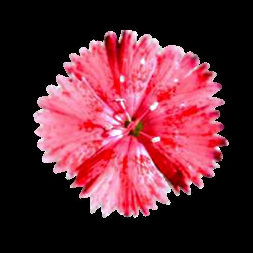 Flowers-karafiaty-003