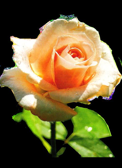 Flowers-ruze-001
