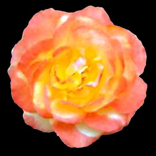 Flowers-ruze-005
