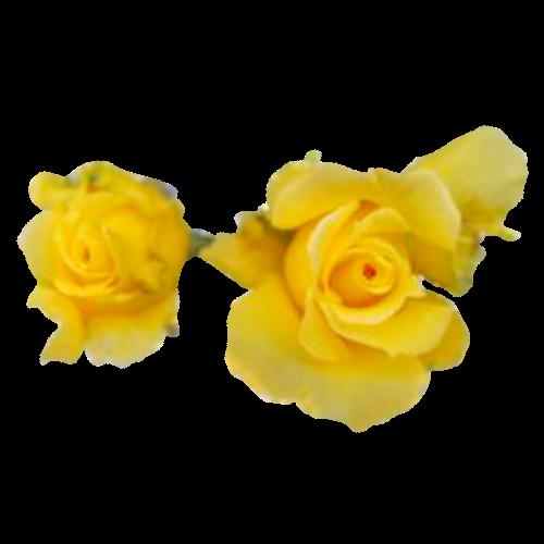 Flowers-ruze-006