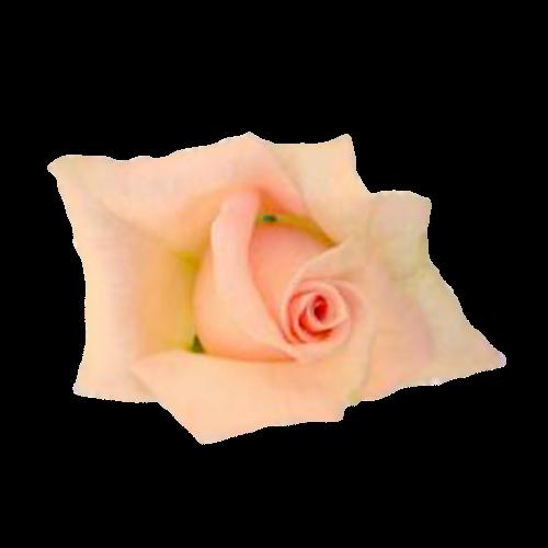 Flowers-ruze-007