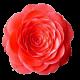 Flowers-ruze-003