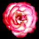 Flowers-ruze-004