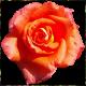 Flowers-ruze-008