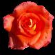 Flowers-ruze-009