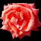 Flowers-ruze-010