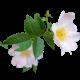 Flowers-ruze-012